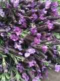 Lavanda-fiorita Stockbilder