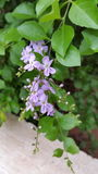 Lavanda, flor, natural, flor Fotos de archivo libres de regalías