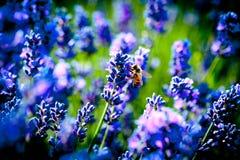 Lavanda florece macro del flor con la abeja Fotos de archivo libres de regalías