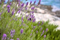 Lavanda floreciente con una abeja que se sienta en ella Foto de archivo libre de regalías