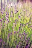 Lavanda floreciente en el jardín Imágenes de archivo libres de regalías