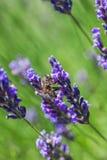 Lavanda floreciente en un campo Imagen de archivo