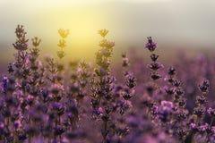 Lavanda floreciente en un campo en la puesta del sol Imagen de archivo