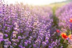 Lavanda floreciente en un campo en la puesta del sol Imágenes de archivo libres de regalías