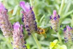 Lavanda francesa con la abeja de la miel Imagen de archivo