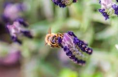 Lavanda francesa con la abeja de la miel Fotos de archivo