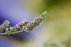 Lavanda hermosa que florece en comienzo del verano Imagen de archivo libre de regalías