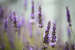 Lavanda hermosa que florece en comienzo del verano Imágenes de archivo libres de regalías