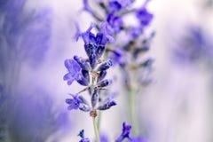 Lavanda hermosa que florece en comienzo del verano Fotografía de archivo libre de regalías