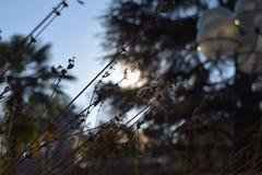 Lavanda im Sonnenaufgang Stockfotos
