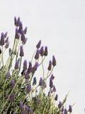 Lavanda inglesa en flor contra una pared blanca Imágenes de archivo libres de regalías