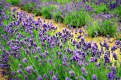 Lavanda in its beautiful color. Go for a walk, smell the air, take in the scent of these magical calming flowers and forget about everything all around you royalty free stock photo