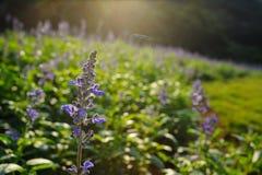 Lavanda púrpura Foto de archivo libre de regalías