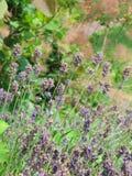 Lavanda púrpura Fotografía de archivo libre de regalías