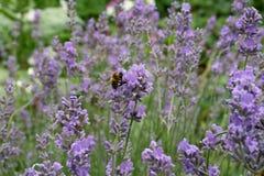 Lavanda púrpura, abeja en una flor Foto de archivo