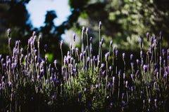 Lavanda púrpura en jardín Fotografía de archivo libre de regalías