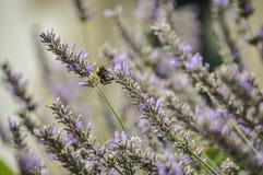 Lavanda perfumada con la abeja Foto de archivo