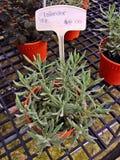 Lavanda - pianta in vaso Fotografia Stock Libera da Diritti