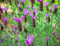 Lavanda porpora, fioritura del fiore della lavanda del Lavandula Angustifolia, aka comune, vero immagini stock
