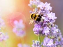 Lavanda veraniega de las flores con la abeja Fotografía de archivo libre de regalías
