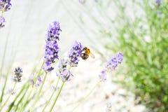 Lavanda y abeja Foto de archivo
