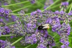 Lavanda y abejorro, angustifolia del Lavandula, Bombus fotos de archivo