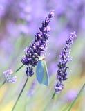 Lavanda y mariposa Imagenes de archivo