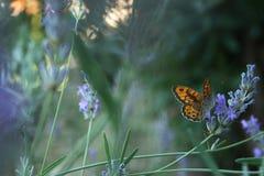 Lavanda y mariposa Fotografía de archivo