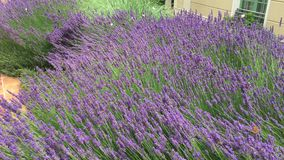 Lavanda y mariposas florecientes almacen de video