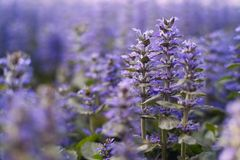 Lavandas púrpuras hermosas en el campo con el foco selectivo Fondo de la naturaleza y concepto hermosos del papel pintado imagen de archivo libre de regalías