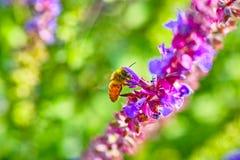 Lavandas y abeja Foto de archivo libre de regalías