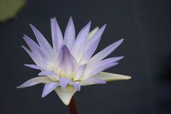 Lavande éthérée et eau blanche Lily Flower image libre de droits