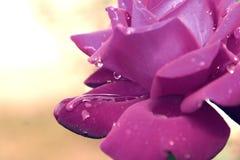Lavande Image libre de droits