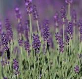 Lavande (angustifolia de Lavandula) Photographie stock libre de droits