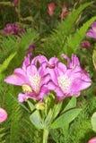 Lavande Azalea Flower Photo libre de droits