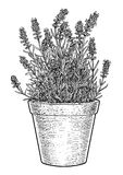 Lavande dans l'illustration de pot, dessin, gravure, encre, schéma, vecteur illustration de vecteur