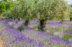 Lavande dans une rangée et des oliviers Images libres de droits