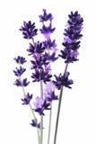lavande de fleur de groupe Photographie stock libre de droits