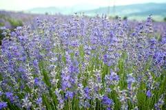 Lavande de floraison Image stock