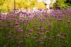 Lavande de floraison Photographie stock