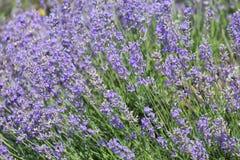 Lavande de floraison de grand buisson photographie stock