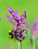 Lavande et abeille Photo libre de droits
