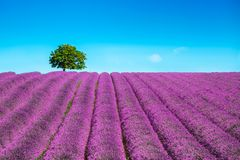 Lavande et arbre isolé ascendants La Provence, France photographie stock libre de droits