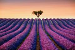 Lavande et arbre isolé vers le haut sur le coucher du soleil La Provence, France Photographie stock libre de droits