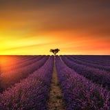 Lavande et arbre isolé vers le haut sur le coucher du soleil La Provence, France image stock