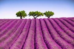 Lavande et arbres ascendants La Provence, France Images libres de droits