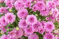 Lavande et chrysanthèmes roses Photo libre de droits