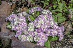 Lavande et fleurs blanches photos stock