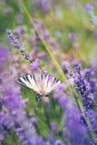 Lavande et papillon Images stock