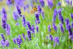 Lavande fleurissante avec le papillon cosmopolite - cardui de Vanessa, Syn : Cardui de Cynthia image stock